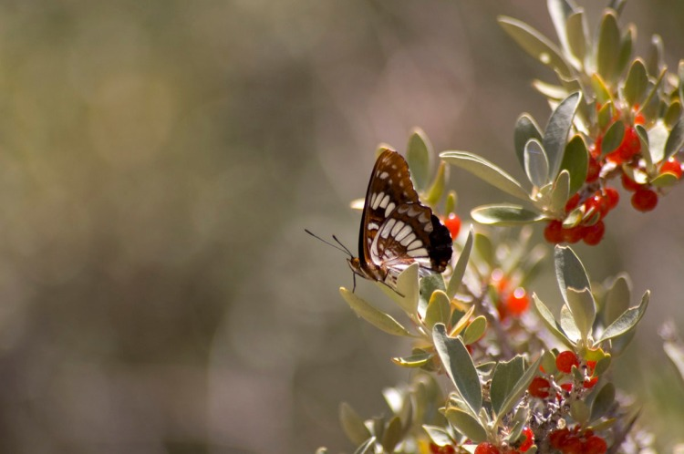 Lorquin's Admiral on a buffalo berry